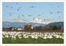 Snow Geese and Mt. Baker